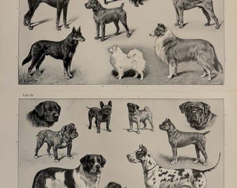 Antique print.1904.Lithograph.Breeds of Dogs.112 years old print.Dog breeds print.Old print.11.7x9.6 inches,30x24cm.Vintage poster.