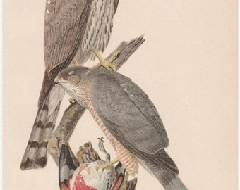 Sharp-Shinned Hawk Bird Print From Yearbook US Dept. of Agriculture by 1908 L. A. Fuertes
