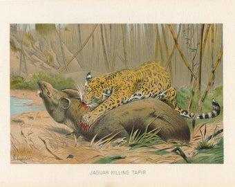1902 Jaguar Antique Print