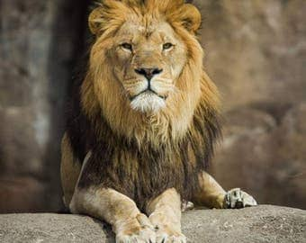 "Lion photographic print, ""The King"""