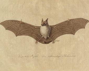 Vintage Bat Art Print - Bat Poster - Peaceful Vintage Animal Illustration - Vintage Bat Illustration - Museum Quality