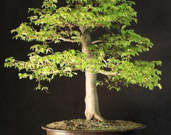 Specimen European Hornbeam Bonsai Tree 85 cm