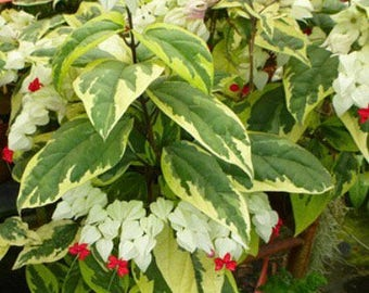 3 COLORS VARIEGATED Bleeding Heart Glory Bower Vine Plant Cutting/Live Starter Plant + Free Gift!