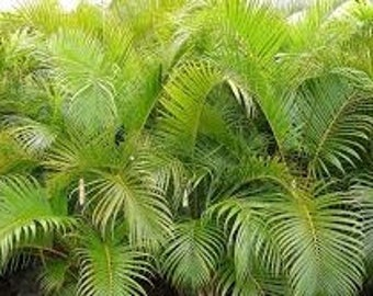 Live 2-3 Ft Tall Cat, Cascade, or Cataract Palm Trees Multiple leaf stems