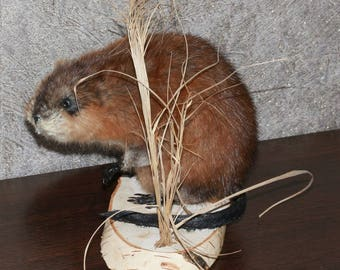 Small Beaver - Taxidermy Mount, Stuffed Animal For Sale - ST3821