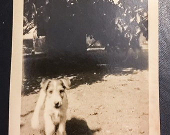 Jack Russell Terrier Puppy Dog Outside Old Vintage Photo Photograph