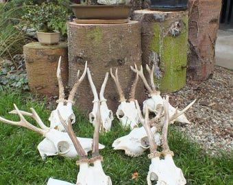 Collection roedeer antlers * taxidermy * trophy * skull * bone * roebuck * deer