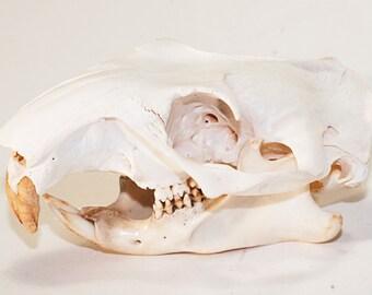 Woodchuck Skull | Animal Skull | Bone Skull