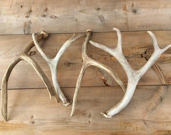 4 Mule Deer Antler Horn Authentic Montana