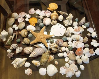 Large Lot of Sea Shells