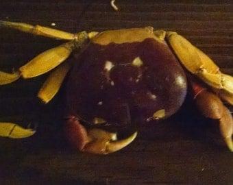Genuine Halloween Crab Skeleton [Price Reduced]