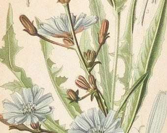 Plant study, antique print | Compositae II, 1893, Chromolithography