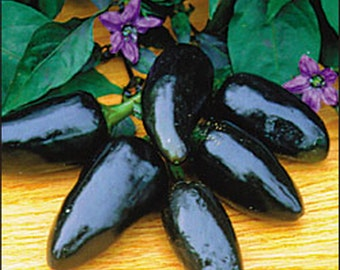 Hot Chilli Pepper - Black Hungarian (25 SEEDS)