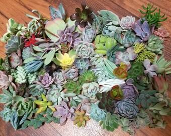 75 Succulent Cuttings