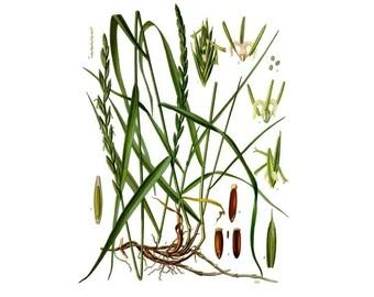 Depurative herbal tea of quackgrass