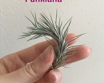 Tillandsia Funkiana