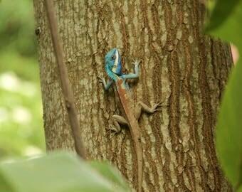 Blue Crested Lizard Photo Print