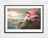 Roseate Spoonbill, Spoonbill, Spoonbills, vintage bird art, vintage bird posters, antique bird art, bird etchings, vintage etching prints