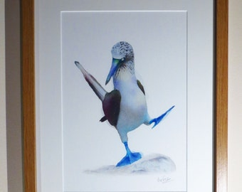 Dancing Blue-footed Booby
