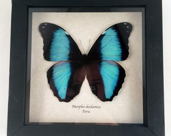 Real butterfly framed - Morpho deidamia