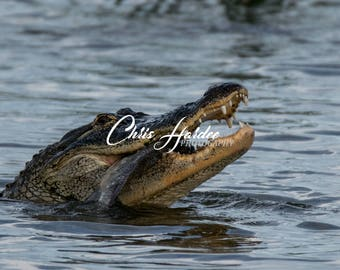 Alligator Photo, Florida Wildlife, Wildlife Picture, Gray Brown Artwork