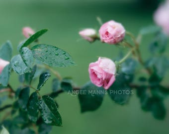 Still Life Photograph, Roses Photo, Rustic Home Decor