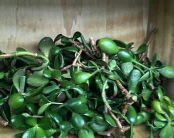 Jade Plant Cuttings Lot 10 Pieces Succulent Trimmings