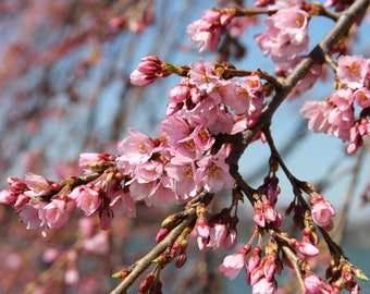 Pink Cherry Blossom, Photograph Print Flower  Tree Branches Spring Peaceful Zen ikebana