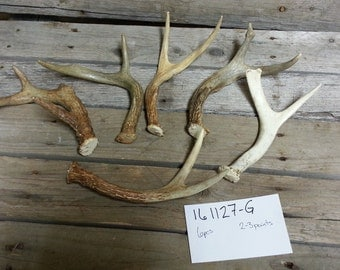 Bulk Lot of 6 Small Whitetail and Mule Deer  Antlers- Lot No. 161127-G