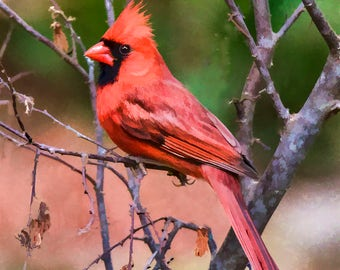 Spring Cardinal 8 x 10 Unmatted Photograph