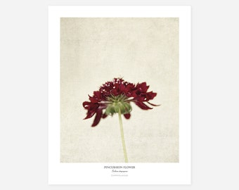 Pincushion Flower Original Art Print - Botanical Wall Art - Flower Poster - Large Botanical Print