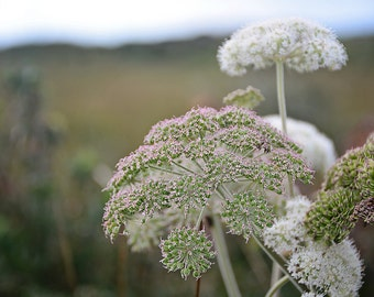 Queen Anne's Lace, Flower, Romantic, Wedding, Weed, Pink, White, Fields, Countryside, Margaret Dukeman, Fine Art Photography