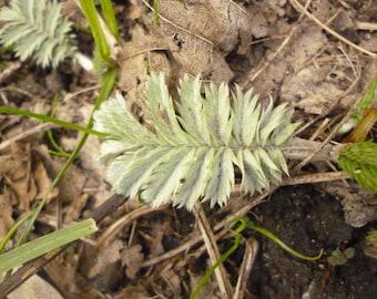 Wild Medicine December Digital Version - Hedgerow Foraging Wild Crafting Herbalism