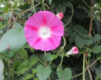 30 seeds, Pink, Purple or Mixed Morning Glory