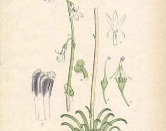 WATER LOBELIA 1905 Botanical Book Plate 58 (Lobelia Dortmanna)