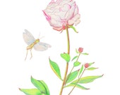 Peony with Grasshoppers, Print of Pencil Drawing, Paeonia, Botany, Botanical, Home Decor, Floral Gift, Art Print, Floral Art Print, Peonies