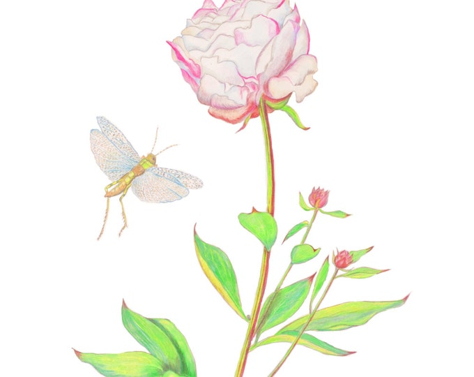 LIMITED EDITION (10) of a Peony with Grasshoppers, Print of Pencil Drawing, Botany, Home Decor, Floral Gift, Art Print,