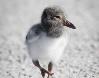 Baby Bird Photo, Nesting Birds, Oystercatcher Chick, Shore Birds, Wildlife Photo, nature photography, nursery decor - fine art photograph