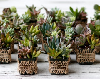 Living Succulent Favors, Succulents in small pot,Wedding Favors,Centerpiece,Succulent Variety, Succulent Gifts, Nice variety