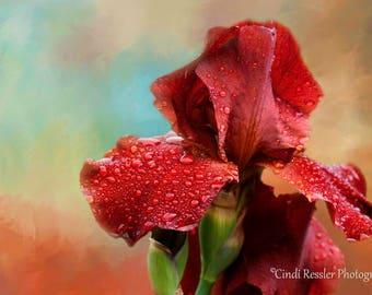 Iris, Bearded Iris, Flower Photography, Floral Photography, Photography, Garden Photography, Fine Art Photography