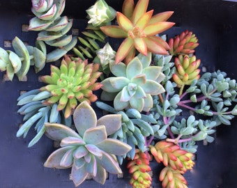 20 SUCCULENT CUTTINGS, Succulent plants, Terrarium, Succulent Centerpiece, Colorful Succulents, Succulentt Cuttings, Centerpiece