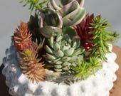 Abacus - Charming Collection of Jade, Sempervivum, Echeveria & Sedum Plants in Bubbled Planter