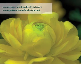 Ranunculus Flower Fine Art Photo Print
