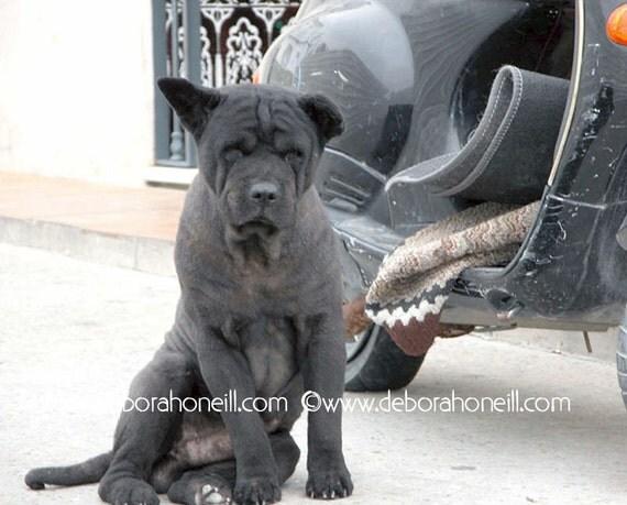"Funny Animal Photography - dog mut motorcycle Cadiz Spain stray black ""Motorcycle Dog, Spain"""