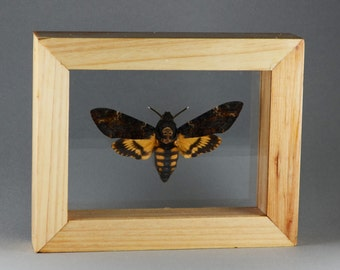 Real Death Head Moth in Double Glass Wood Frame