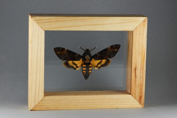 real death head moth in double glass wood frame - Double Glass Picture Frame