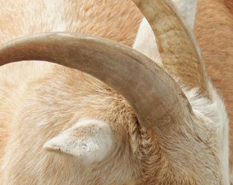 Goat Photograph - Sleepy Goat - Goat Horns - Goat Ears - Golden Goat - Farmer's Goat - Animal Photograph