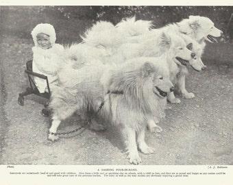 Samoyed Dog Print Pulling Baby in Cart Arctic Sled Dog 1935 Canine Print Dog Art Wall Art Home Decor Vintage Print