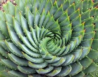 CSA) SPIRAL ALOE~Seeds!!!~~~~~~~Beautiful, Unique Variety!