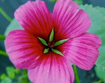 PBHMM) VULCAN MALLOW~Seed!!~~~~~(Malope trifida)